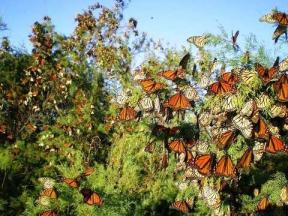 Monarch Butterlflies