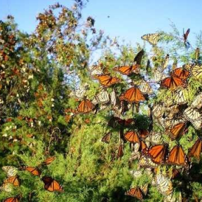 Monarch Butterlflies